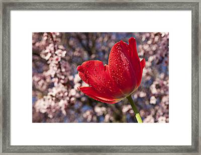Red Tulip Against Cherry Tree Framed Print by Garry Gay