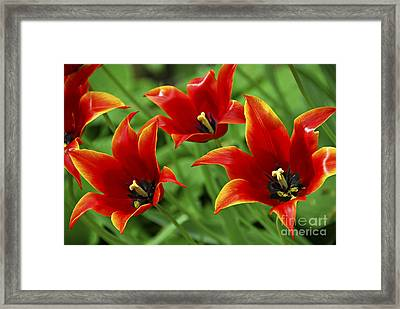 Red Tulips Framed Print by Elena Elisseeva