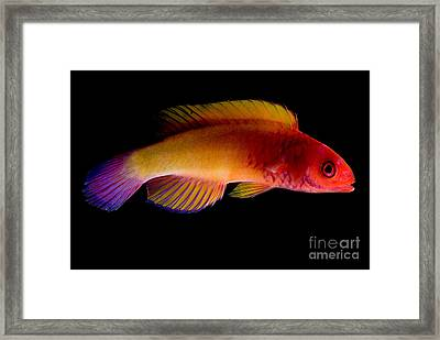 Red Velvet Fairy Wrasse Framed Print by Dant� Fenolio