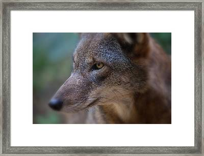 Red Wolf Stare Framed Print by Karol Livote