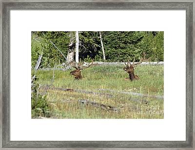 Relaxed Elk Framed Print by Shawn Naranjo