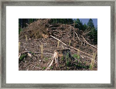Replant Of Douglas Fir Pseudotsuga Framed Print by Gerry Ellis