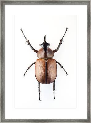 Rhinoceros Beetle Framed Print by Lawrence Lawry