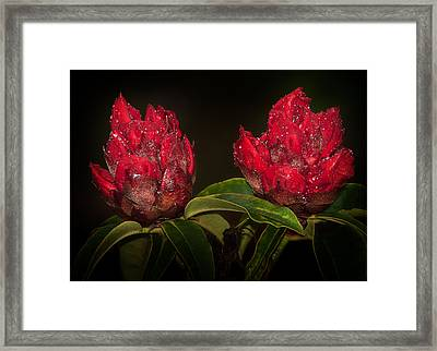 Rhododendron Framed Print by Svetlana Sewell