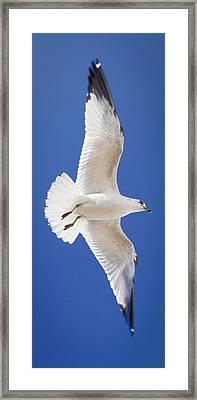 Ring Billed Gull Framed Print by Patrick M Lynch