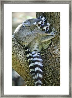 Ring-tailed Lemurs Madagascar Framed Print by Cyril Ruoso