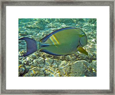 Ringtail Surgeonfish Framed Print by Michael Peychich