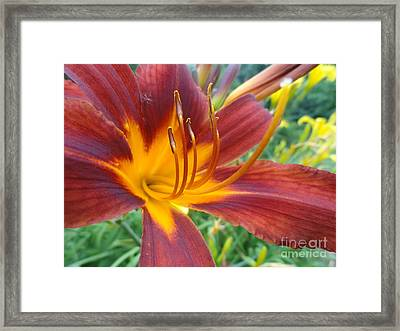 Ripe Blood Orange Framed Print by Trish Hale