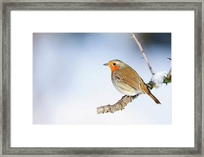 Robin (erithacus Rubecula) Framed Print by Andrew Howe