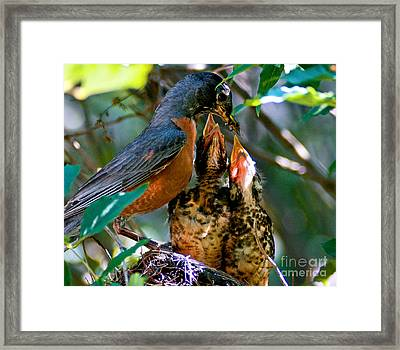 Robin Feeding Young 2 Framed Print by Terry Elniski
