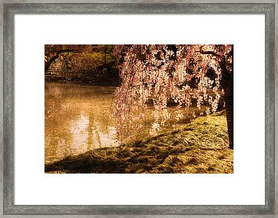 Romance - Sunlight Through Cherry Blossoms Framed Print by Vivienne Gucwa