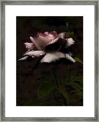 Rose After Dark Framed Print by Barbara Middleton