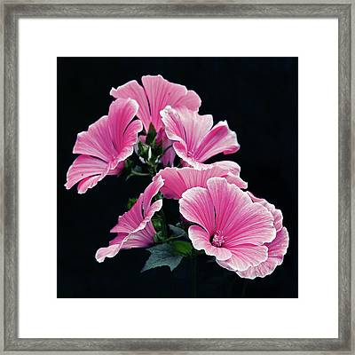 Rose Mallow Framed Print by Tanjica Perovic Photography