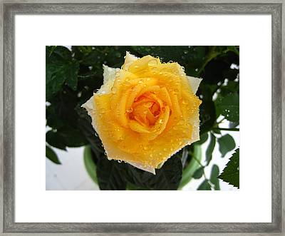 Rose With Droplets And Green Leaves Framed Print by Cedric Sureau