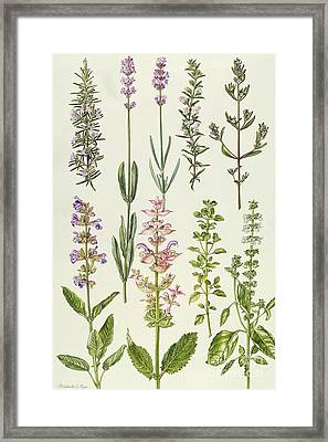 Rosemary And Other Herbs Framed Print by Elizabeth Rice