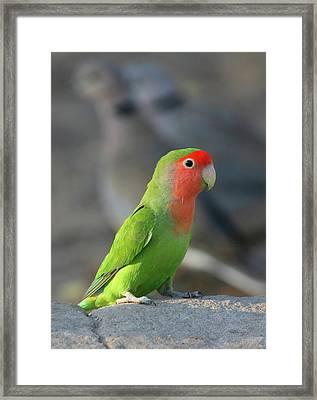 Rosy-faced Lovebird Framed Print by Bruce J Robinson