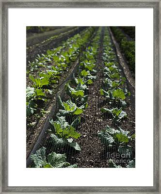 Rows Of Cabbage Framed Print by Anne Gilbert