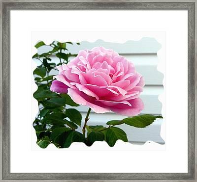 Royal Kate Rose Framed Print by Will Borden