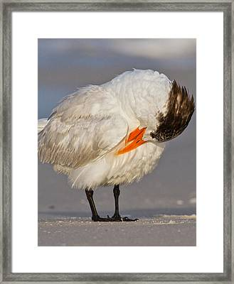 Royal Tern Framed Print by Betsy C Knapp