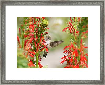 Ruby-throated Hummingbird And Cardinal Flower Framed Print by Robert E Alter Reflections of Infinity