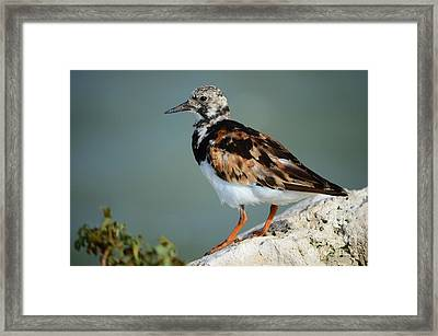 Ruddy Turnstone Framed Print by Lynda Dawson-Youngclaus