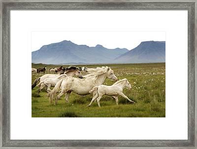 Running Wild In Iceland Framed Print by Gigja Einarsdottir