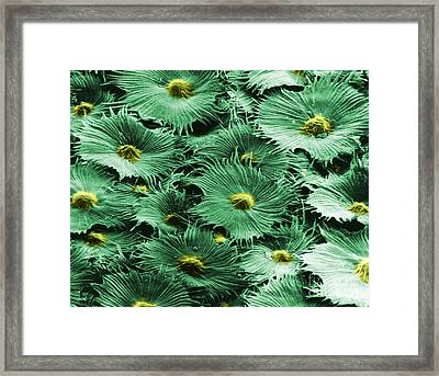Russian Silverberry Leaf  Framed Print by Asa Thoresen and Photo Researchers