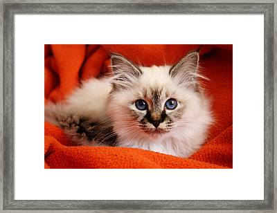 Sacred Cat Of Burma In Red Blanket Framed Print by © Nico Piotto