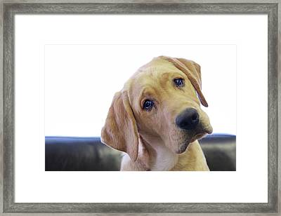 Sad Looking Yellow Lab With Head Tilted On Chair Framed Print by Back in the Pack dog portraits