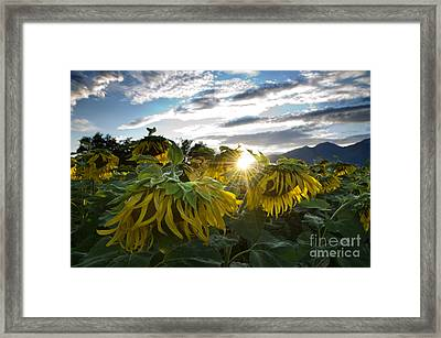 Sad Sunflowers Framed Print by Mats Silvan