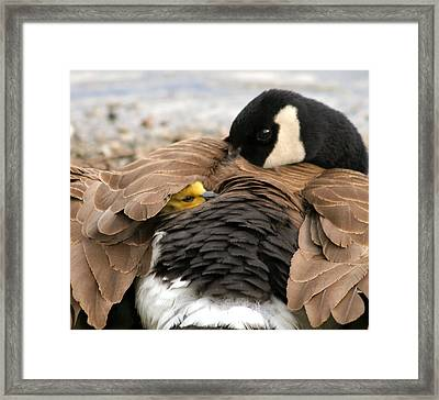 Safe Under Mamma's Wing Framed Print by Melodie Douglas