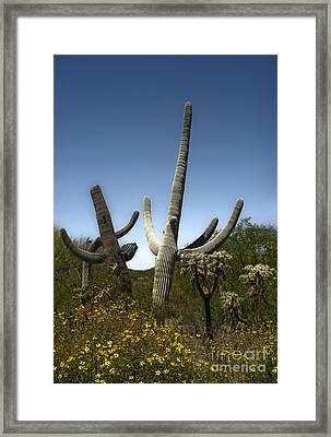 Saguaro Cactus Framed Print by Gregory Dyer