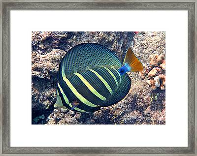 Sailfin Tang Expanded Framed Print by Bette Phelan