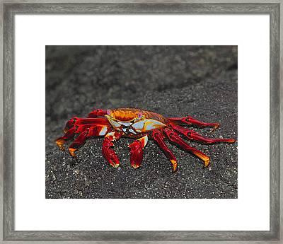 Sally Lightfoot Crab Framed Print by Tony Beck