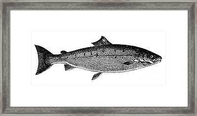 Salmon Framed Print by Granger