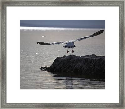 Salton Sea Gull Framed Print by Linda Dunn