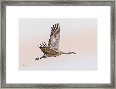 Sandhill Crane N3 Framed Print by Fred J Lord
