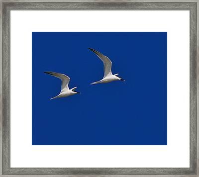 Sandwich Terns Framed Print by Tony Beck
