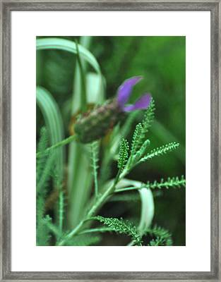 Santolina Chamaecyparissus Lavender Cotton Framed Print by Rebecca Sherman