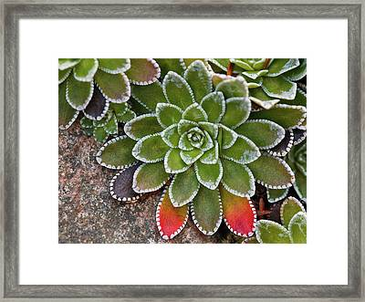 Saxifraga Paniculata Framed Print by Laszlo Podor Photography