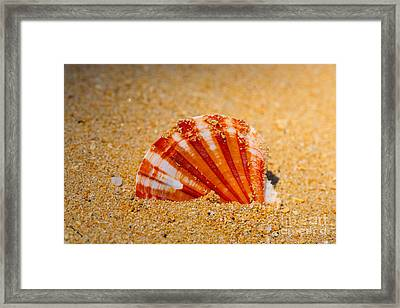 Scallop Shell Framed Print by Cheryl Young