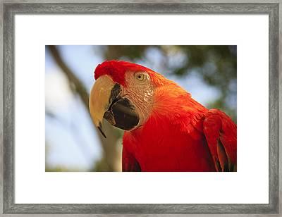 Scarlet Macaw Parrot Framed Print by Adam Romanowicz