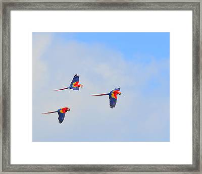 Scarlet Macaws Framed Print by Tony Beck