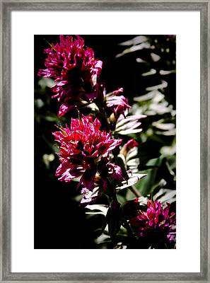 Scarlet Paintbrush Framed Print by David Patterson