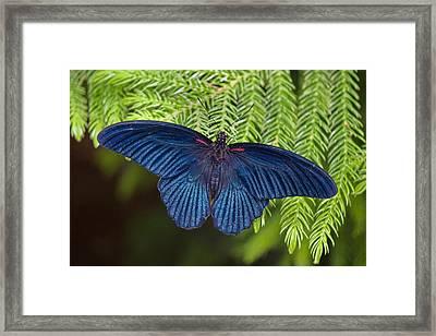 Scarlet Swallowtail Framed Print by Joann Vitali