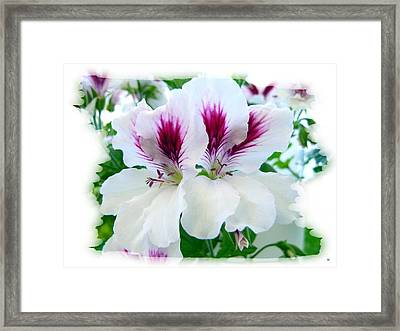 Scented Geraniums 2 Framed Print by Will Borden