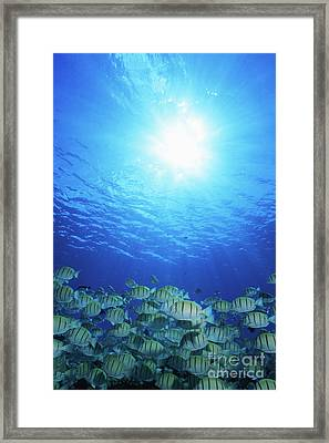 School Of Convict Tang, Manihi, French Framed Print by Beverly Factor