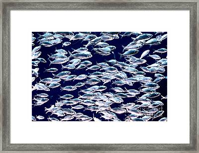 School Of Threadfin Shad Framed Print by Tom McHugh and Photo Researchers