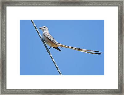 Scissor-tailed Flycatcher Framed Print by Bonnie Barry