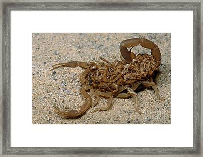 Scorpion With Young Framed Print by Dante Fenolio
